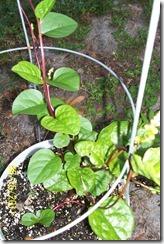 Malabar spinach 8.15.11