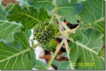 Broccoli 2.2.12