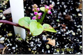 Malabar Spinach 2.3.12
