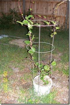 Malabar Spinach 8.26