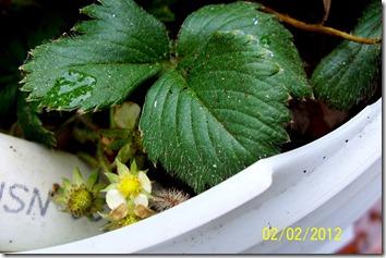 Strawberry 2.2.12