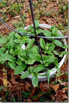Malabar spinach 3.23.12